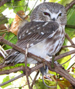 Saw-whet Owl Research Project
