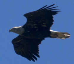 Bald Eagle adult, one of 16 counted at Hook on 9/16/12