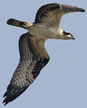Osprey flies just over our heads at Hook