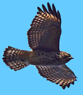 Red-shouldered Hawk, immature