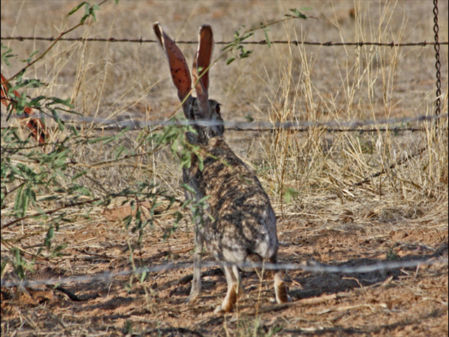 Antelope Jackrabbit: Big ears for hearing and thermoregulation